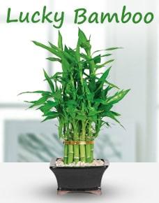 Lucky Bamboo Kolkata