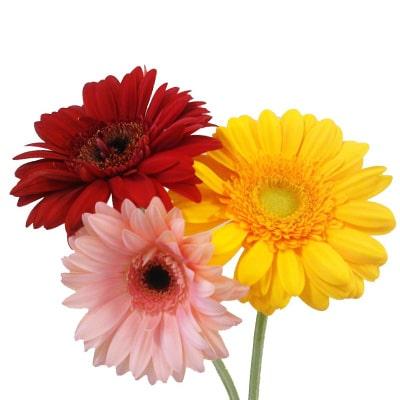 Gerberas Flowers Kolkata