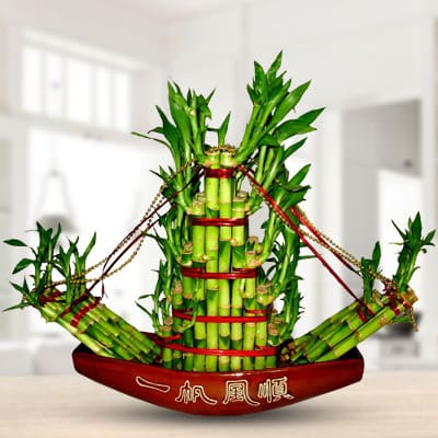 Big Boat Lucky Bamboo